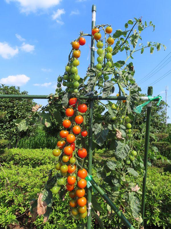 トマト収穫☆
